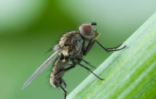 Луковая муха: как с ней бороться с помощью простых средств