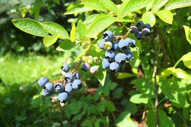 5 причин посадить голубику на садовом участке