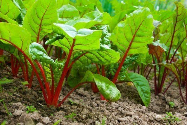 Что можно посадить в огороде и саду в августе