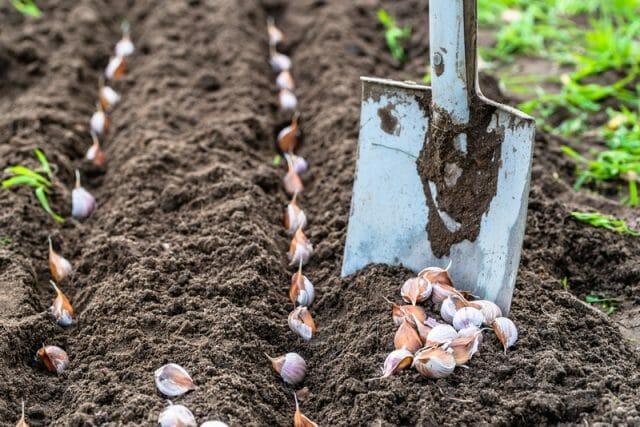 Вот что можно посадить на грядке после уборки озимого чеснока