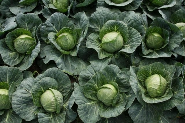Йод для подкормки и защиты растений – лучшие народные рецепты
