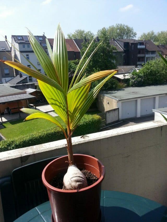 Кокосовая пальма в домашних условиях