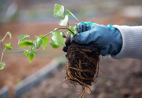 Клематис – уход и обрезка осенью, подготовка к зиме