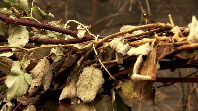 Особенности ухода за малиной осенью и правильная подготовка к зиме