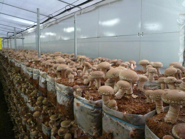 Свежий взгляд на садоводство — выращивание грибов шиитаке