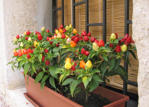 Мини-огород в квартире: как вырастить овощи, зелень у себя дома
