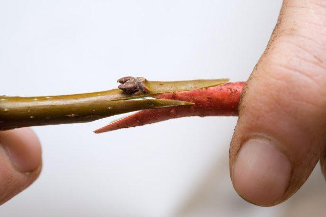 Прививка яблонь осенью - советы для начинающих