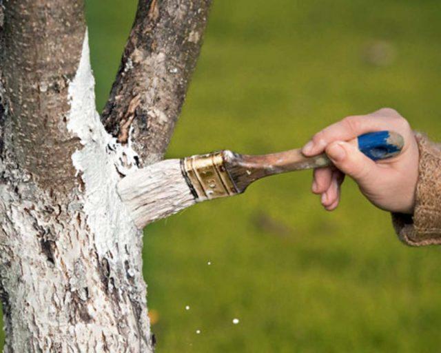 Побелка деревьев осенью: когда и чем белить деревья