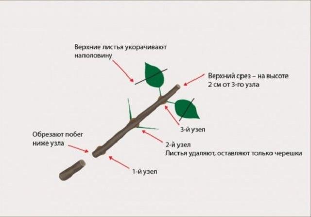 Размножение гортензии черенками – как это правильно делать осенью