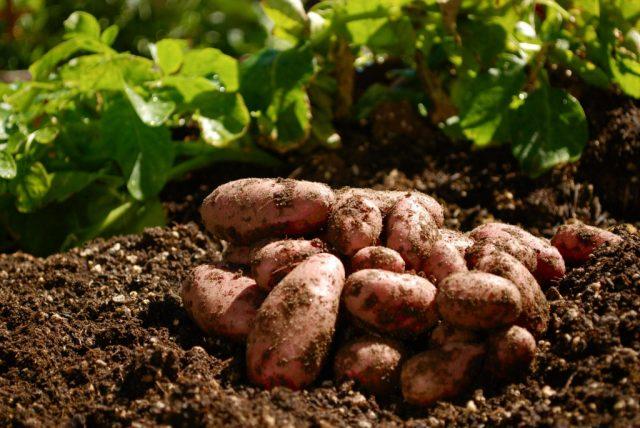 Технология посадки картофеля осенью под зиму