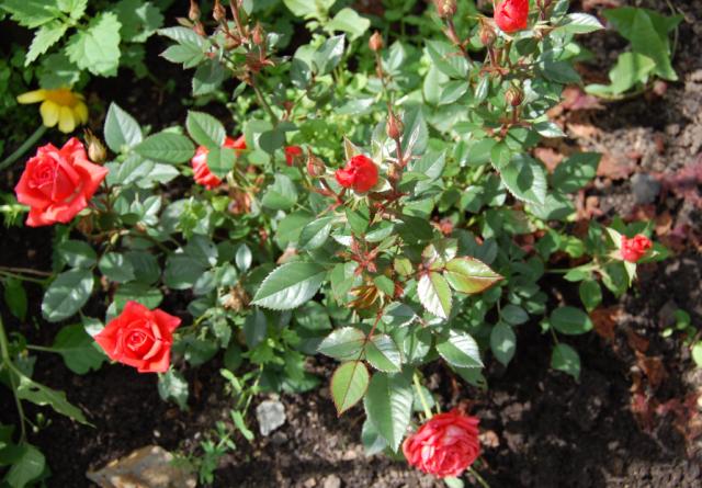 Тля на розах — как быстро избавиться