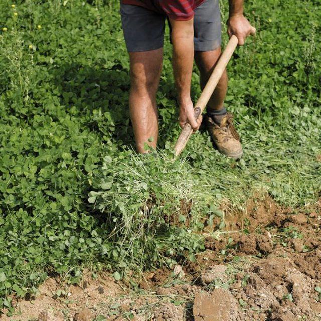 Сидераты осенью: когда сеять и когда закапывать