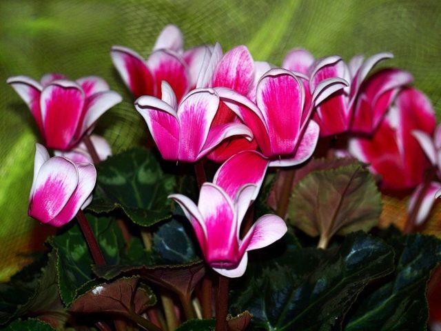 Простые правила роскошного цикламена: уход во время цветения и после