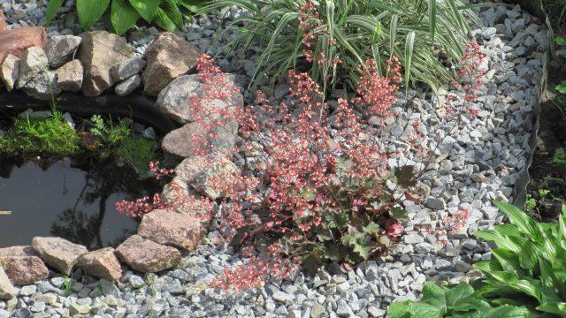 Цветок с изюминкой: украшает сад девять месяцев в году
