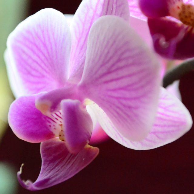 Как ухаживать за цветущей орхидеей, чтобы дольше цвела