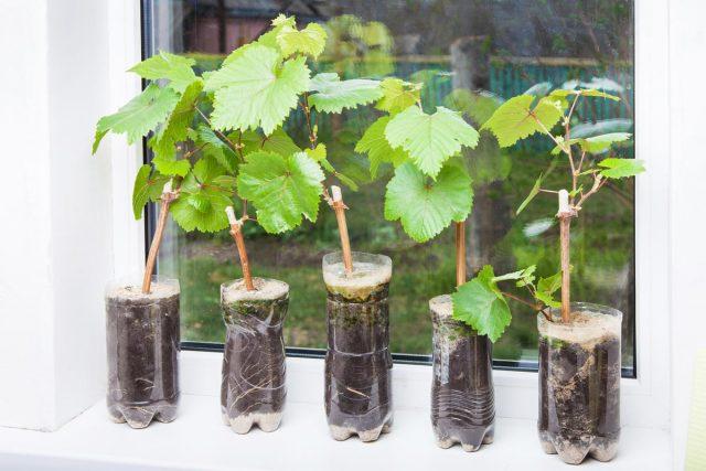 Выбираем хорошие саженцы винограда: Раскрываем секреты