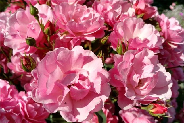 Как просто и надёжно укрыть плетистые розы на зиму + фото