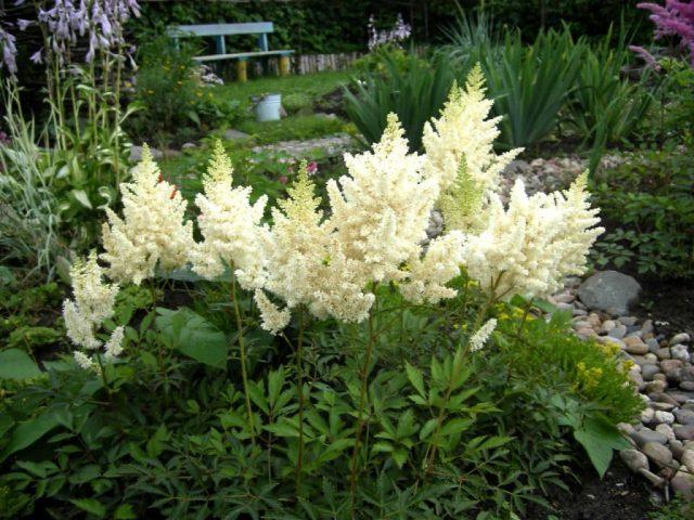 Хотите красивый сад? Посадите астильбу!