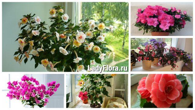 6 комнатных цветов с пышным цветением: украшение любого дома
