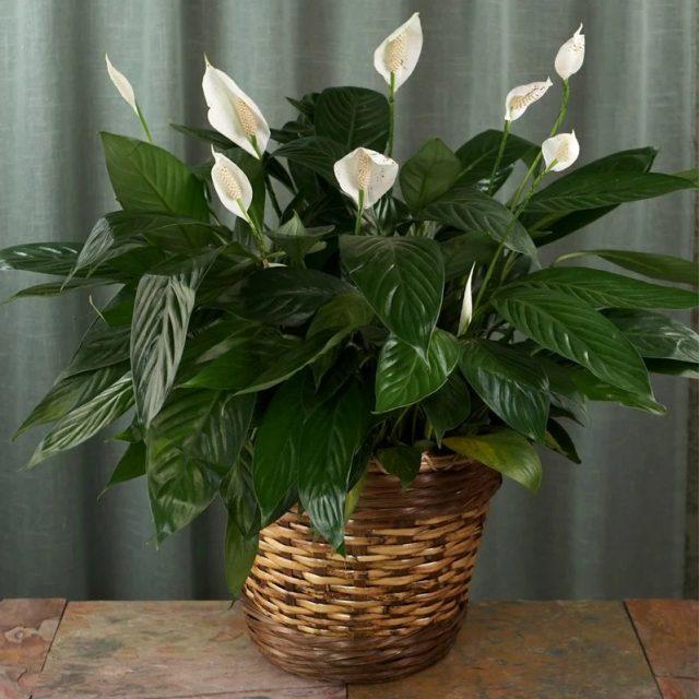 Мои простые секреты роскошного цветения спатифиллума