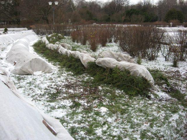 Лапник для укрытия на зиму: чем опасен и как правильно делать