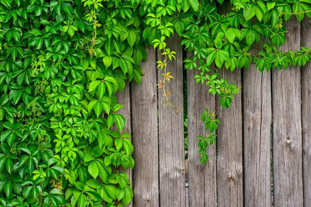 Что можно посадить вдоль забора на даче: лучшие варианты, полезные советы