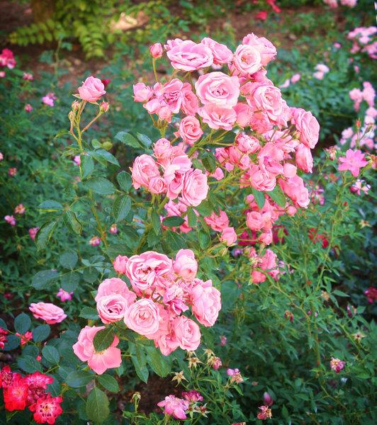 Как быстро и наверняка погубить розы в саду