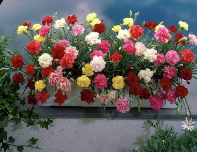 Какие цветы посеять на рассаду в декабре и январе?