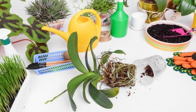 Правильная пересадка орхидей: раскладываем все по полочкам