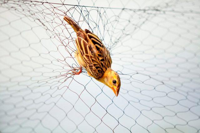 Варианты простых ловушек для птиц в помощь дачнику
