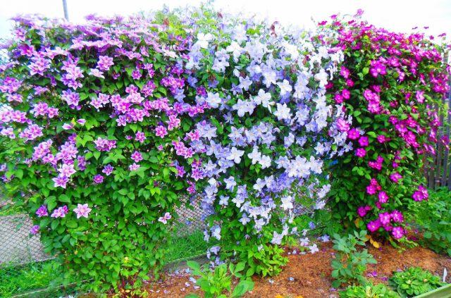 5 лучших многолетних цветов для посадки у забора