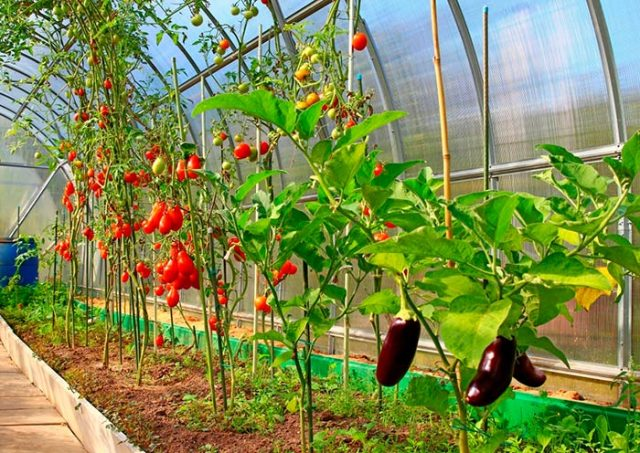 С какими культурами по соседству лучше выращивать баклажаны в теплице