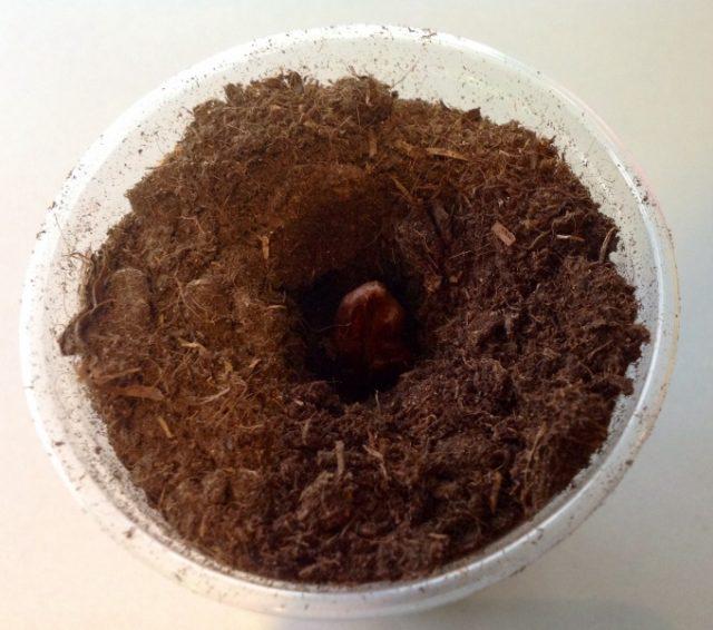 Как вырастить большую финиковую пальму из маленькой косточки