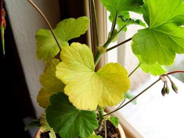 Почему у герани желтеют листья и что делать для красоты