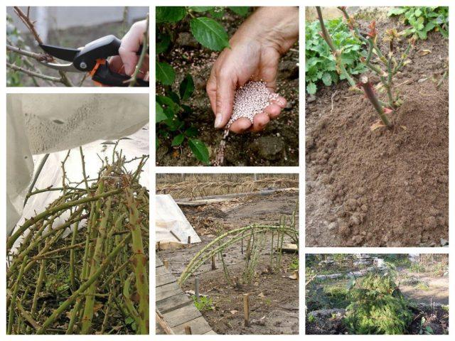 6 самых частых заблуждений об укрытии и подготовке роз к зиме