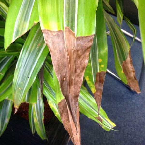 Почему у комнатных растений сохнут кончики листьев зимой. Как спасти цветы