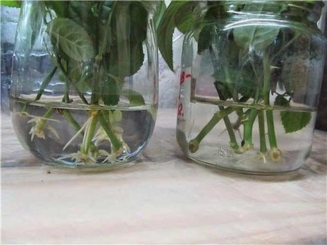 Тройчатка: хитрый стимулятор роста корней у черенков
