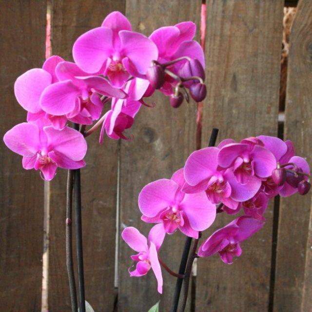 Вот почему у орхидеи сухие корни и что делать