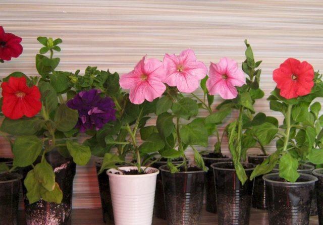Какие цветы можно посадить на рассаду уже в декабре, чтобы рано зацвели