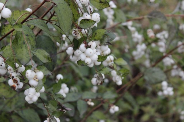 Снежноягодник: описание, посадка и уход, виды и сорта